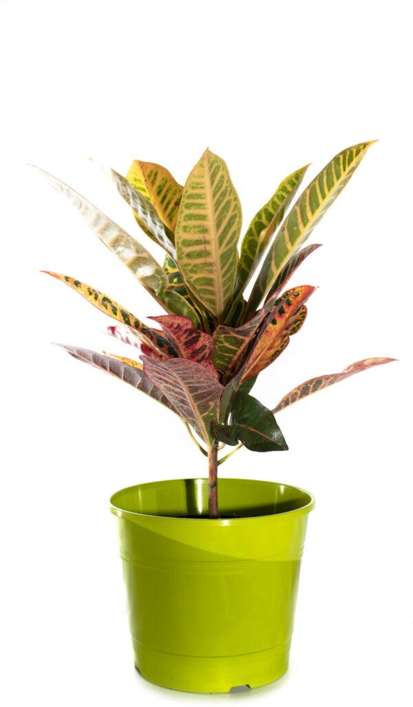 planta de interior crotón
