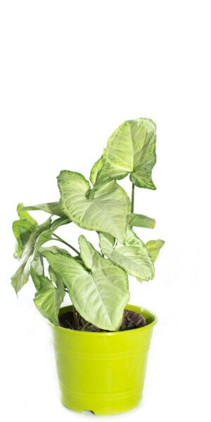 singoneo planta en maceta